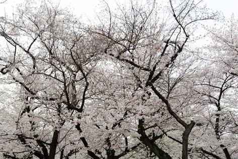 Sakura_flowering_2018_37