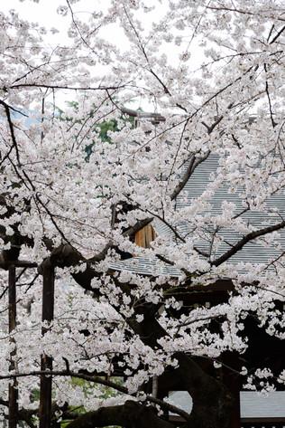 Sakura_flowering_2018_38