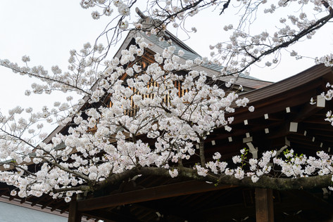 Sakura_flowering_2018_39