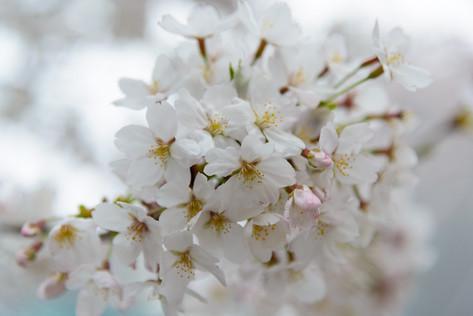 Sakura_flowering_2018_40