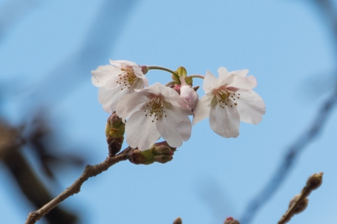 2020_cherry-_blossoms_01