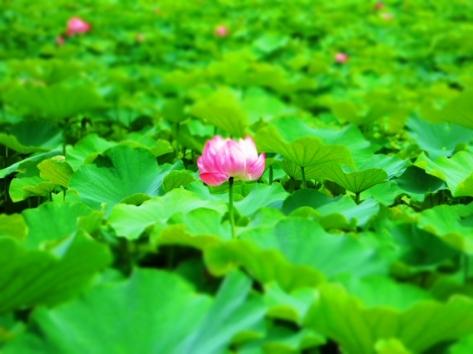 Lotus-06